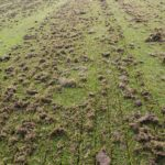 scarified grass